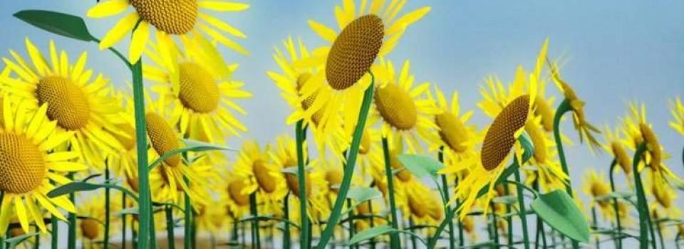 Floarea_Soarelui_Cu_Ochelari_big